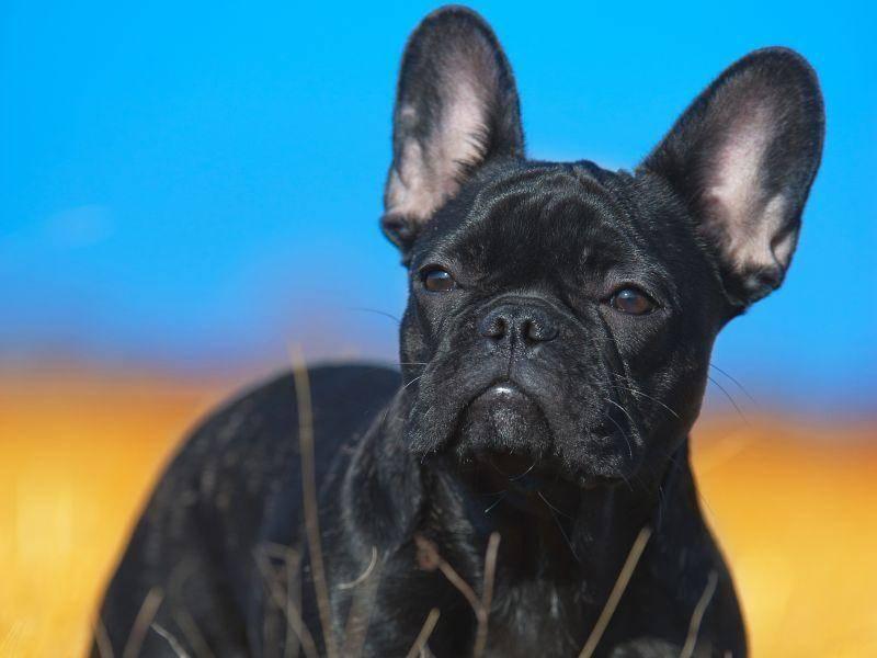 Das Fell der französischen Bulldogge ist kurz und glänzend und kann ich verschiedenen Farben vorkommen — Bild: Shutterstock / Tatiana Katsai