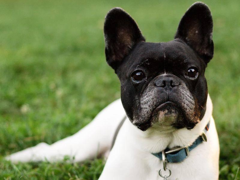 Und eins ist sicher: Wer sich eine Französische Bulldogge anschafft, holt sich einen Freund fürs Leben — Bild: Shutterstock / Csehak Szabolcs