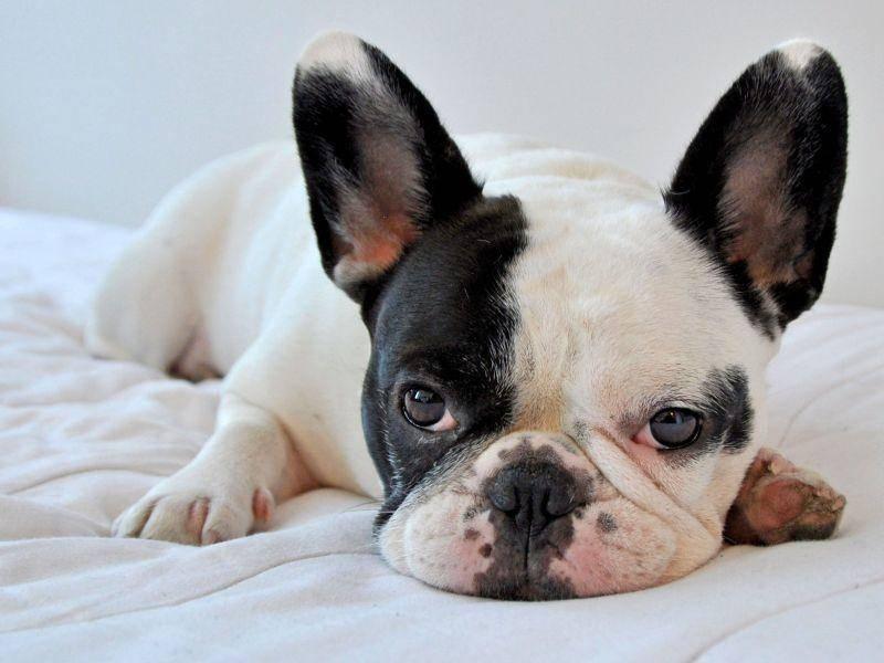 Und so charmant, wie sie gucken kann man Französischen Bulldoggen kaum etwas abschlagen — Bild: Shutterstock / Marie Havens