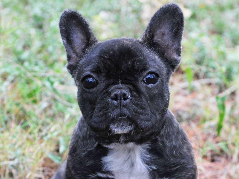 Hund oder Fledermaus? Die Französische Bulldogge hat einfach zu niedliche Ohren — Bild: Shutterstock / cynoclub