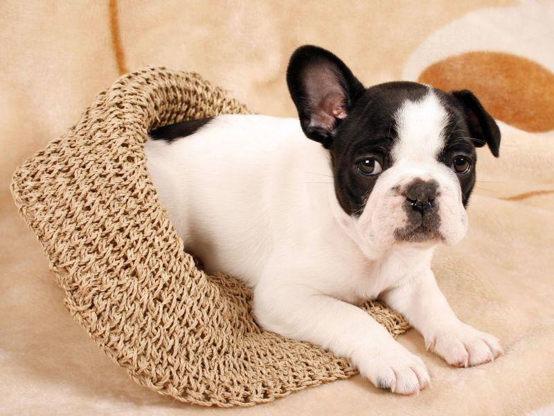 Als Welpen sind Französische Bulldoggen äußerst verspielt — Bild: Shutterstock / Karuka