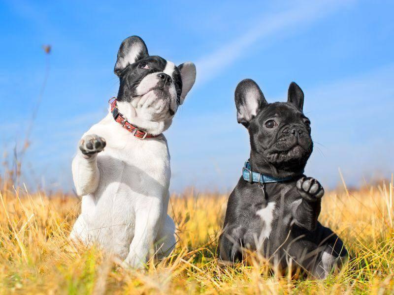 Die Französische Bulldogge spielt gerne und ist bekannt für ihr ruhiges, aber fröhliches Wesen — Bild: Shutterstock / Tatiana Katsai