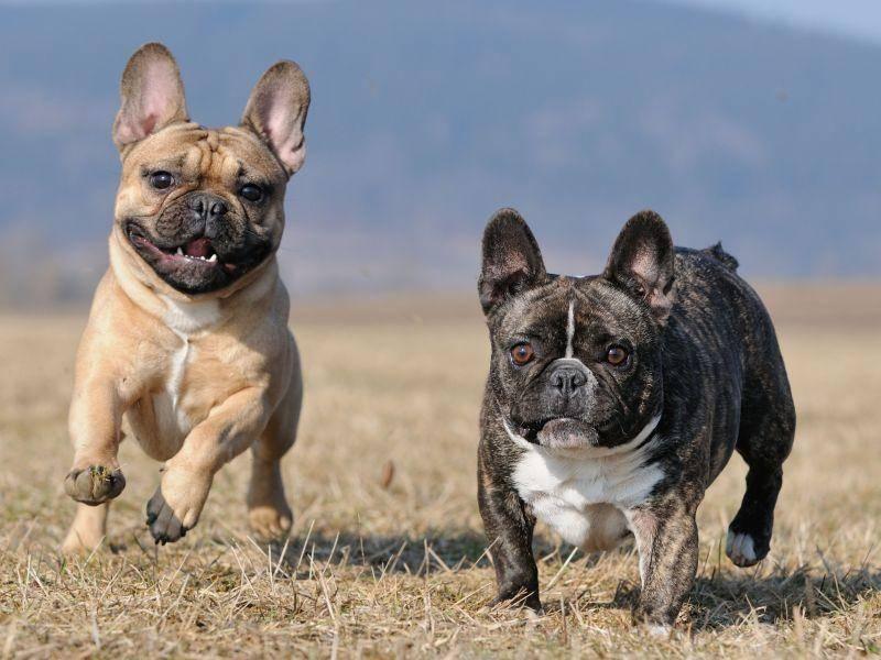 Und gesellig sind Französische Bulldoggen natürlich auch — Bild: Shutterstock / AnetaPics
