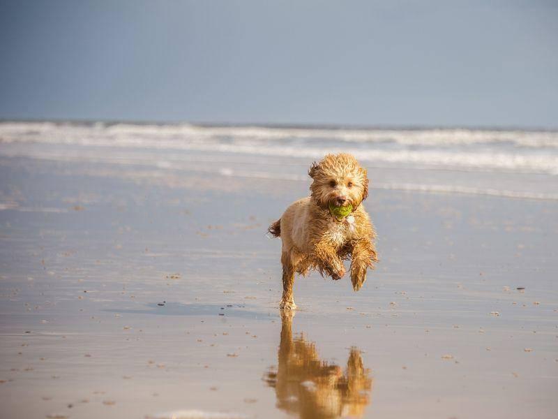 Strandausflug, Hurra! Ein Hund macht Tempo — Bild: Shutterstock / rashworth