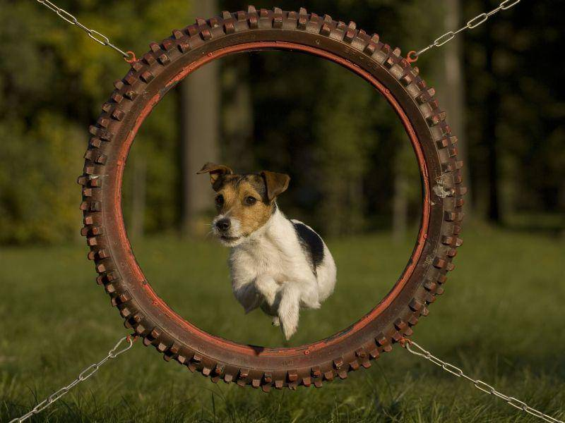 Und ab durch die Mitte: Dieser sportliche Jack Russell ist schon ein kleiner Profi im Agility-Hundetraining — Bild: Shutterstock / L. Nagy