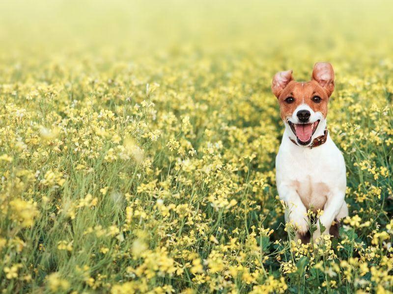 Frühling, Blumen und viel Platz zum Rennen: So macht das Hundeleben Spaß! — Bild: Shutterstock / Smit