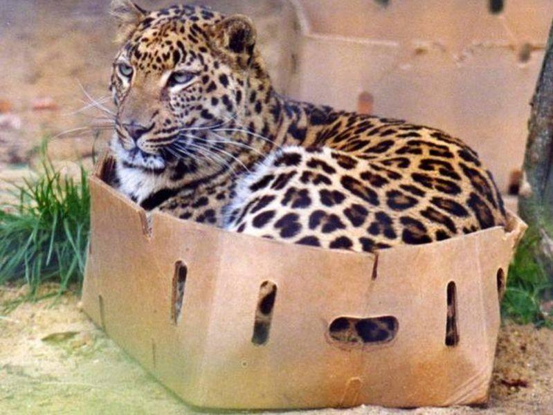 Auch große Katzen mögen Kartons! — Bild: imgur.com