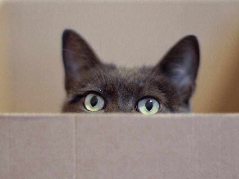 Aus einem Karton sieht die Welt für Katzen besonders spannend aus — Bild: Shutterstock / Zyankarlo