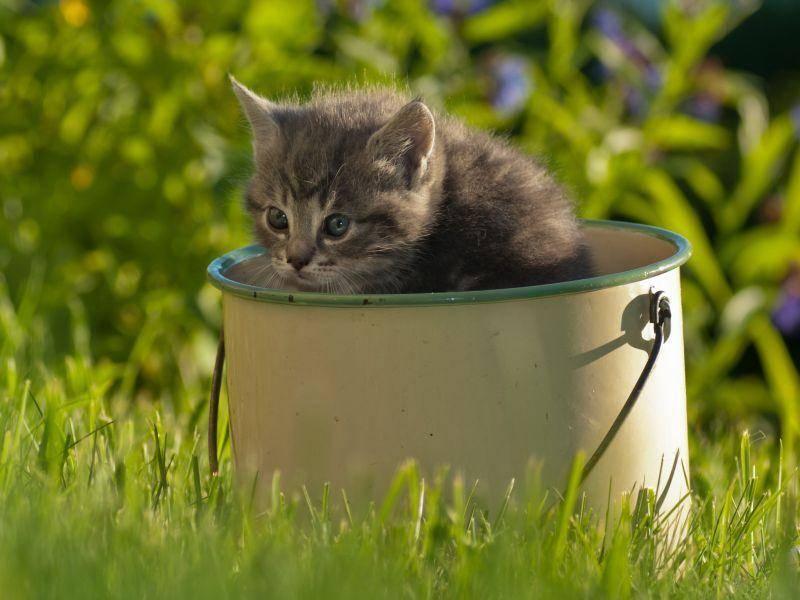 Süßes neugieriges Katzenbaby übt den Schulterblick für Fortgeschrittene — Bild: Shutterstock / AnnaIA