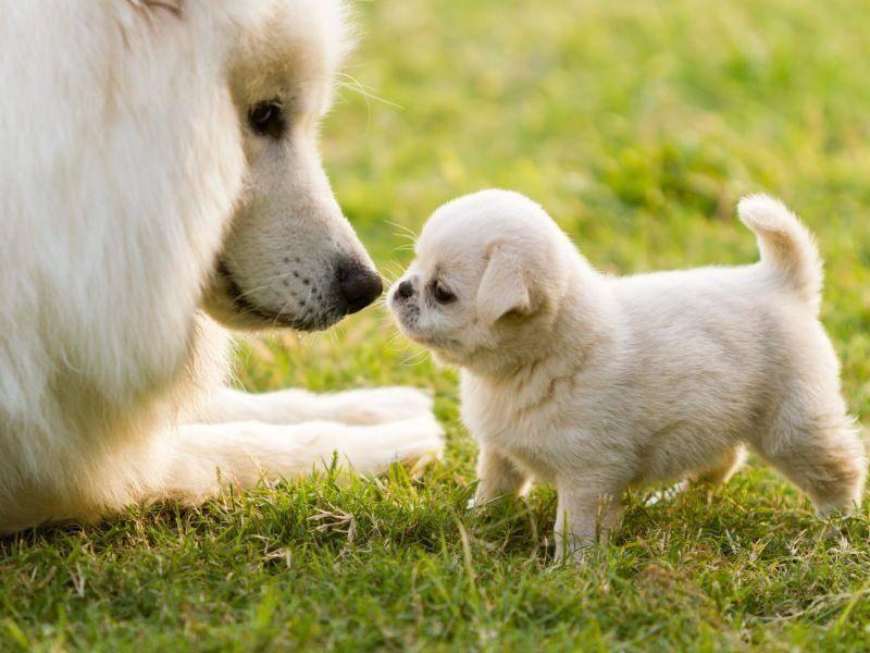 Pyrenäenhunde sehen mit ihrem dicken, glatten Fell aus wie kleine Eisbären — Bild: Shutterstock / L.F