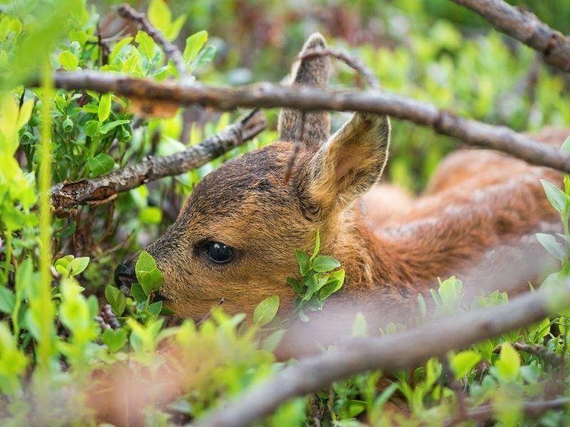 Ein kleiner Ausflug durch den Wald: Wie aufregend für ein Rehkitz — Bild: Shutterstock / Stefan Holm