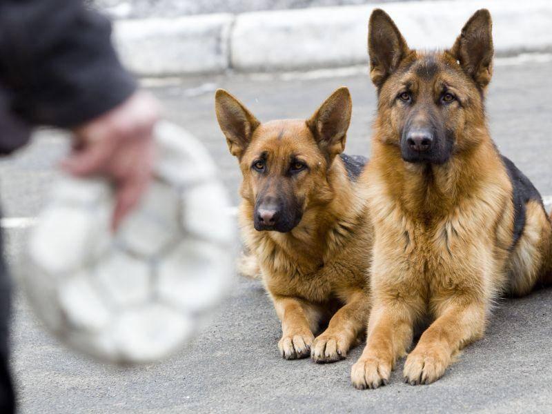 Angewiesen auf ein gutes Hundetraining: Polizeihunde — Bild: Shutterstock / Liukov