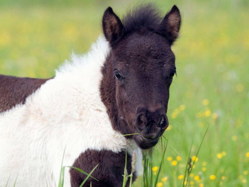 Fast zu niedlich, dieses Fohlen, oder? — Bild: Shutterstock / Alexia Khruscheva