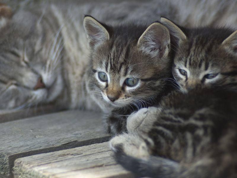 Tiger-Katzen-Kuscheln