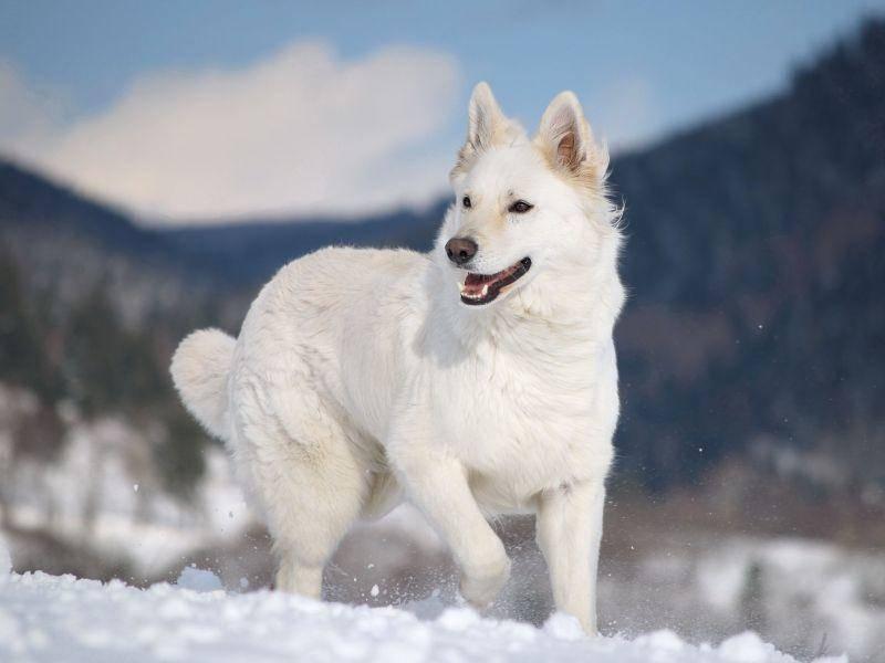 Weißer Schäferhund beim Schneeausflug — Bild: Shutterstock / AnetaPics