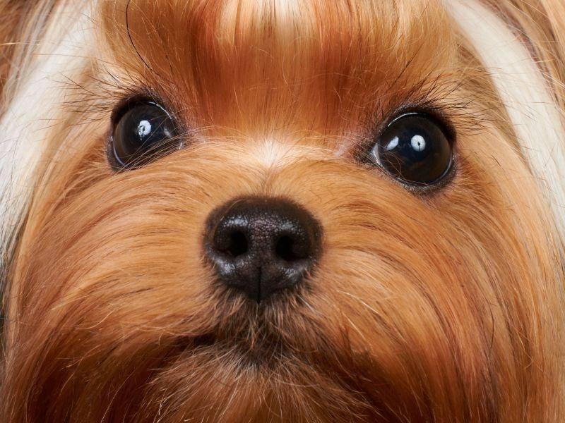 Das lange, dünne Fell des Yorkshire Terriers ist sehr pflegeintensiv — Bild: Shutterstock / Konstantin Gushcha