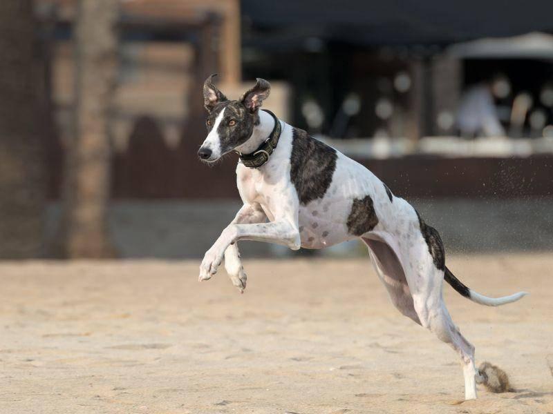 Schließlich ist der Galgo Español ein Windhund und wurde ursprünglich für die Hasenjagd gezüchtet — Bild: Shutterstock / tsik