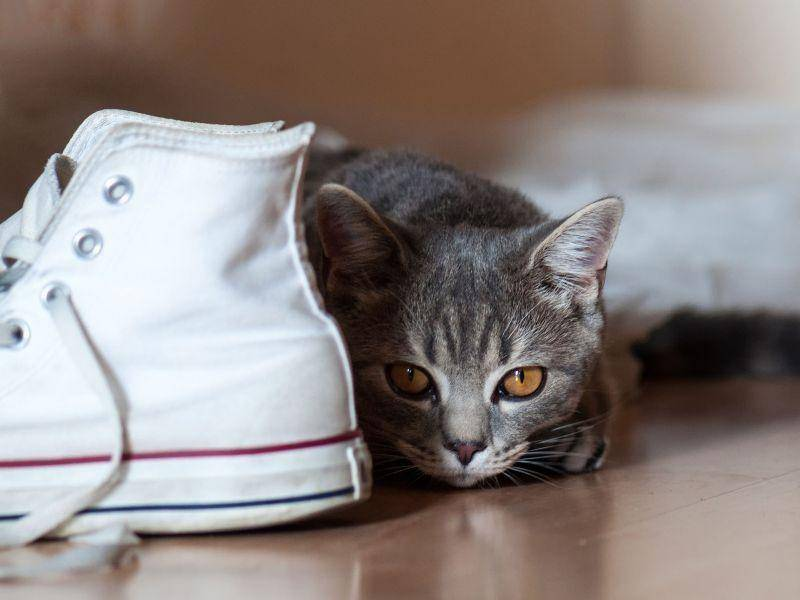 Katzen lieben Schuhe, weil man mit ihnen so gut verstecken spielen kann — Bild: Shutterstock / horvathta