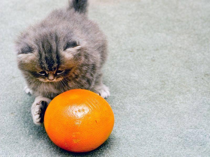Wolliges Katzenbaby mit einem großen orangen Ball aus der Obstschale — Bild: Shutterstock / Alon Brik