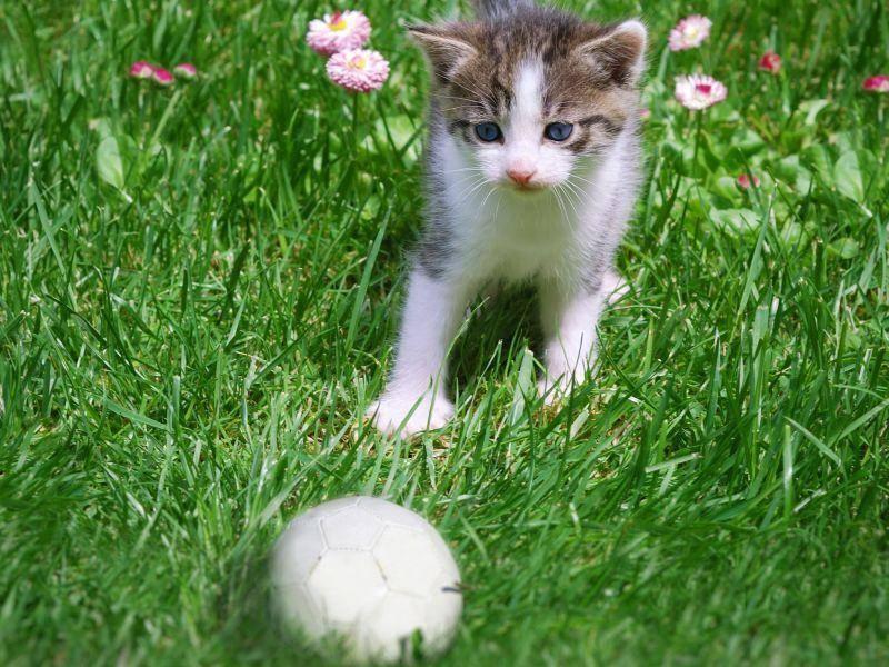 Und fang den Ball! Süßes Katzenbaby spielt im Garten — Bild: Shutterstock / Dreamframer