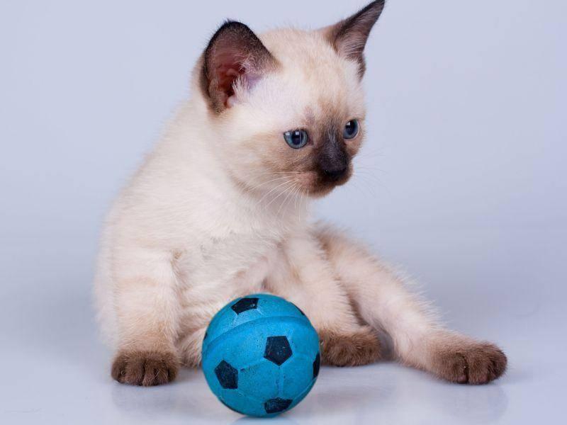 Nicht jedes Katzenbaby hat einen eigenen Fußball - Diese Siamkatze schon! — Bild: Shutterstock / MaxPiter
