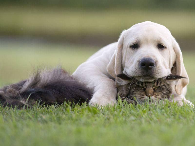 Ob diese Katze sich wohl ärgert, den Job als Hundesitter angenommen zu haben? — Bild: Shutterstock / Okeanas