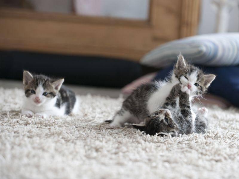 ... und weil Teppiche super zum Toben mit den Katzengeschwistern sind — Bild: Shutterstock / Tom Pingel