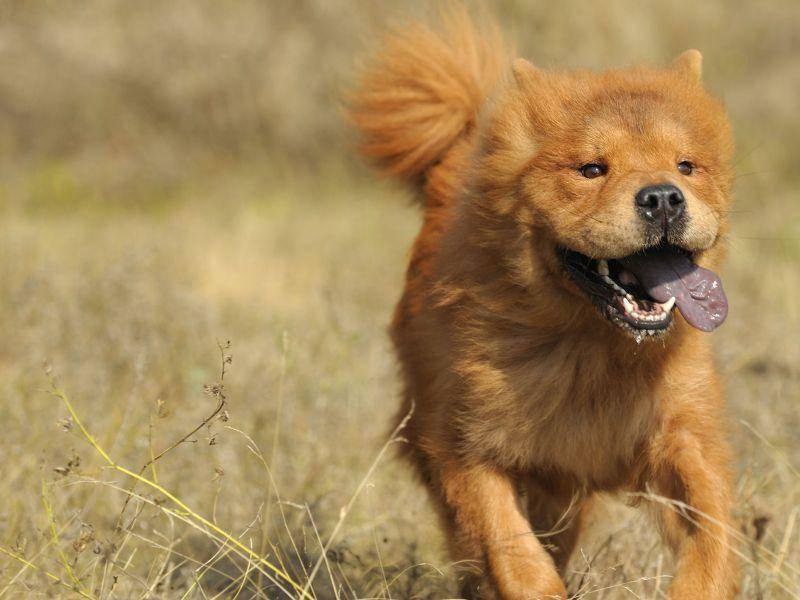 Schöne Spaziergänge liebt der Chow-Chow, wie man sieht — Bild: Shutterstock / Galushko Sergey