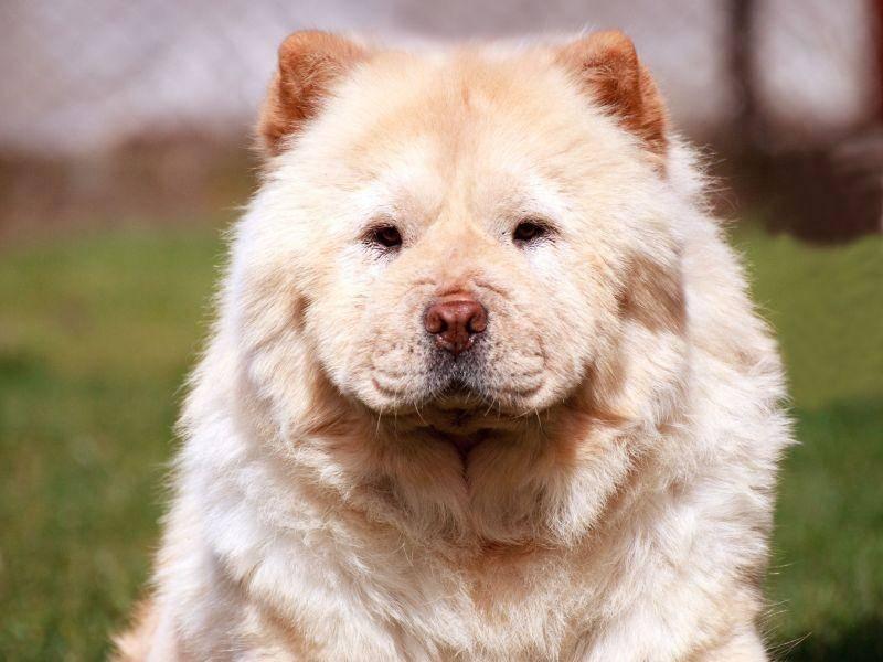 Es gibt Chow-Chows mit kurzem, plüschigen Fell — Bild: Shutterstock / SSokolov