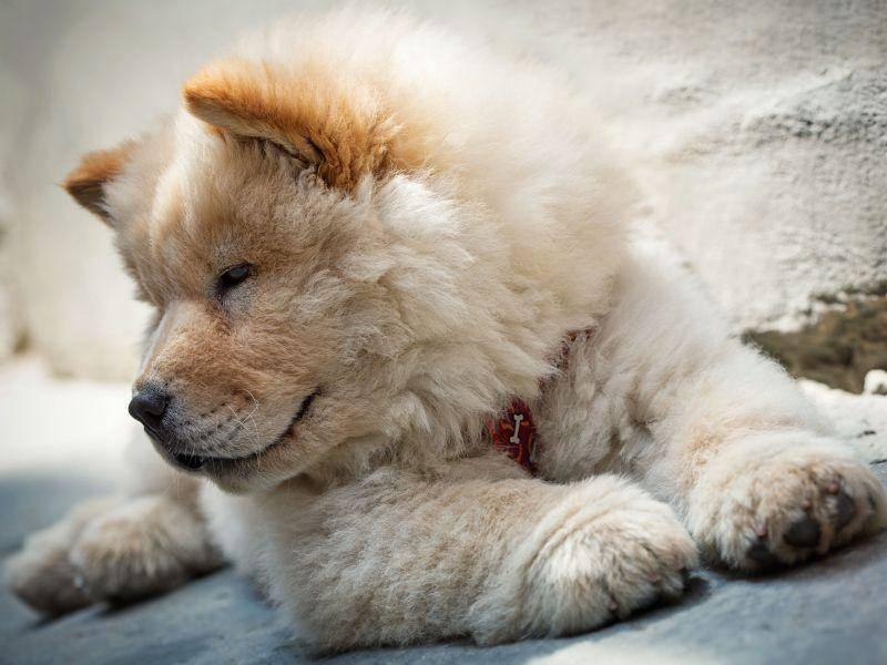 Der Chow-Chow ist ein ruhiger Hund aber ein guter Wächter — Bild: Shutterstock / Petr Jilek