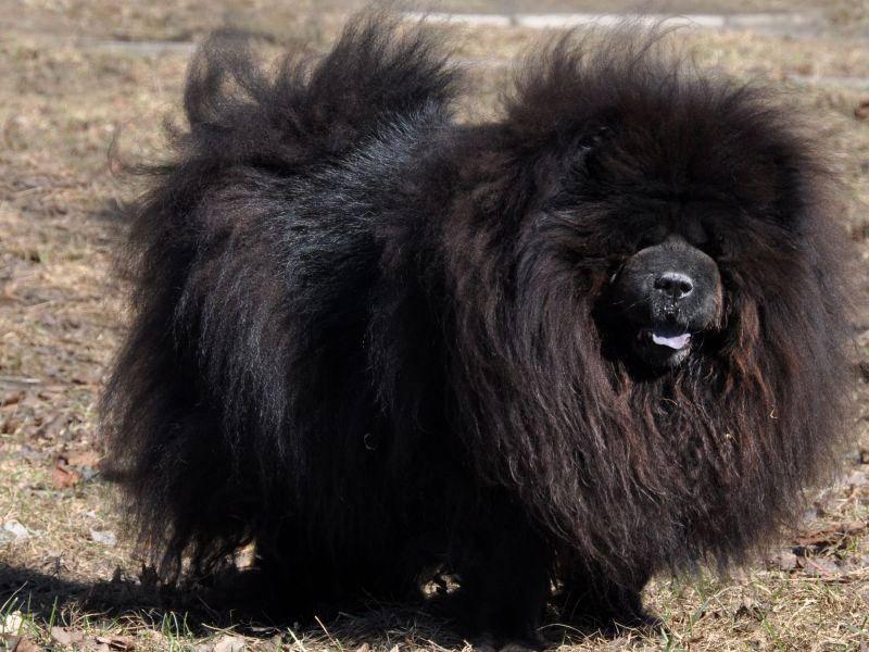 Und auch in schwarz gibt es den Chow-Chow, auch wenn er etwas seltener ist — Bild: Shutterstock / infinityyy