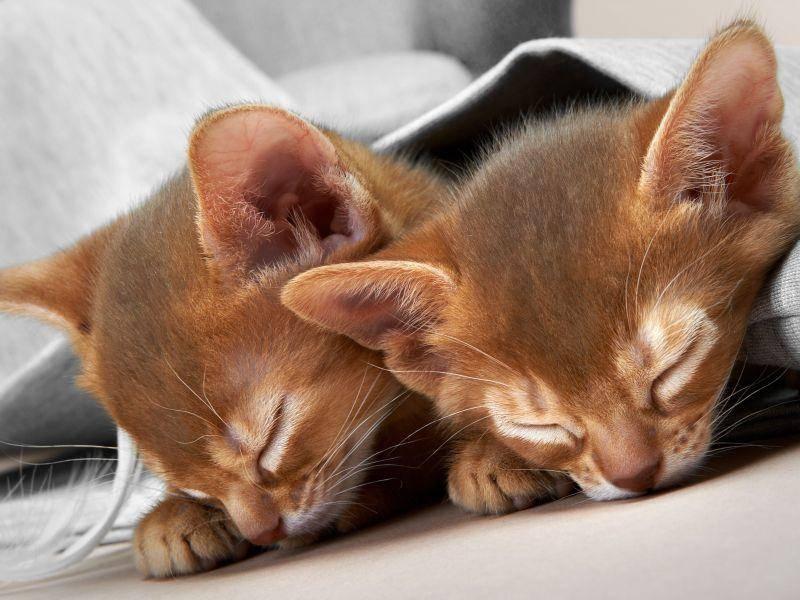 Das sieht man ihnen aber nicht immer an: Auch Abessinierkatzen braucchen mal eine Pause — Bild: Shutterstock / ingret