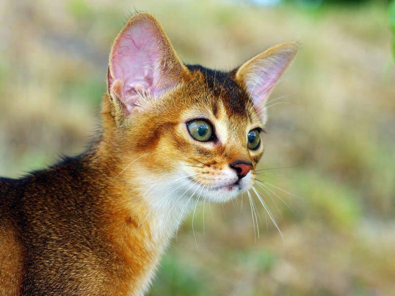 Abessinierkatzen sind sportlich und sehr gerne draußen — Bild: Shutterstock / Dolnikov