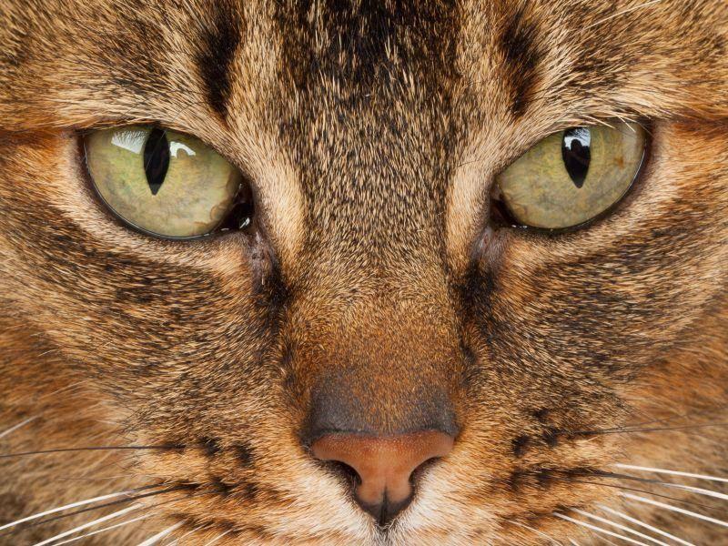 Nahaufnahme einer Abessinierkatze. Ursprünglich kommt sie aus Südostasien — Bild: Shutterstock / Roland IJdema