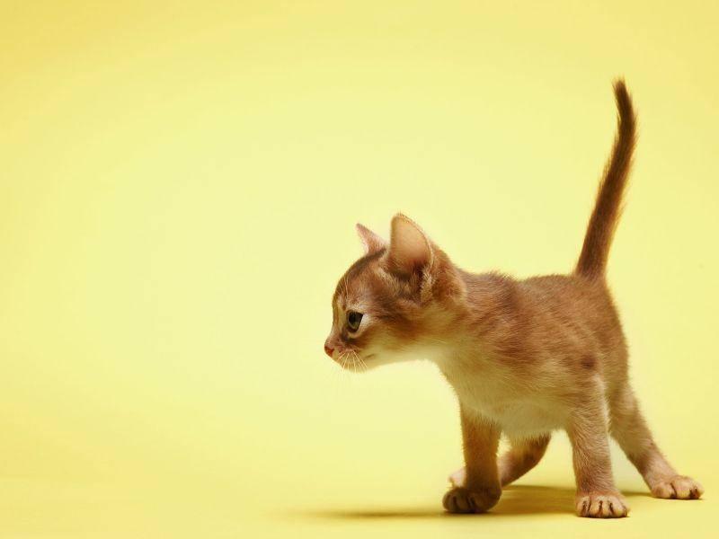 Schon die kleinsten Vertreter der Abessinier-Katzen sind elegant und wunderschön. Eine tolle Katzenrasse! — Bild: Shutterstock / ingret