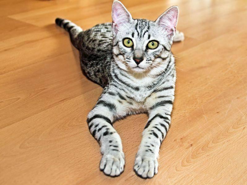 Die schöne Exotin erinnert an die Katzen, die auf historischen Wandmalereien in Ägypten abgebildet sind— Bild: Shutterstock / Gerard van Hemeren