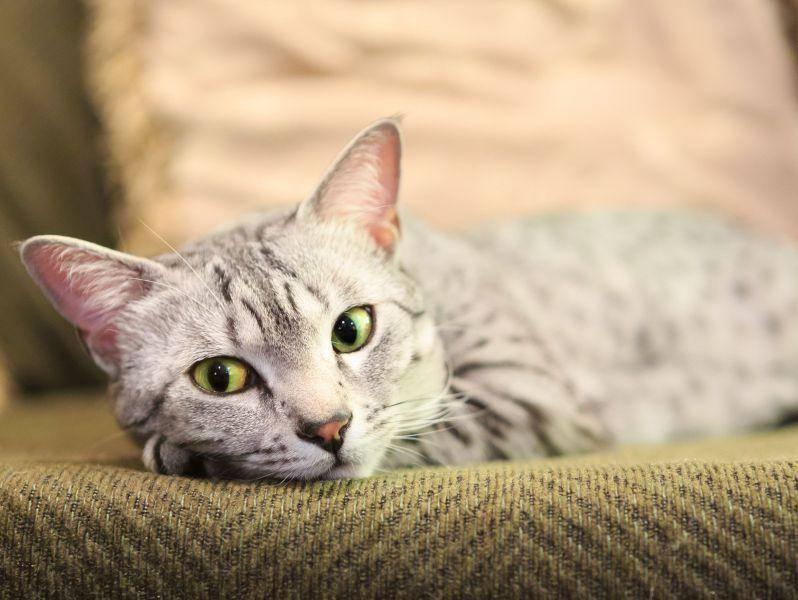 Große, meist grüne, mandelförmige Augen sind typisch für die Ägyptische Mau — Bild: Shutterstock / Sarah Fields Photography