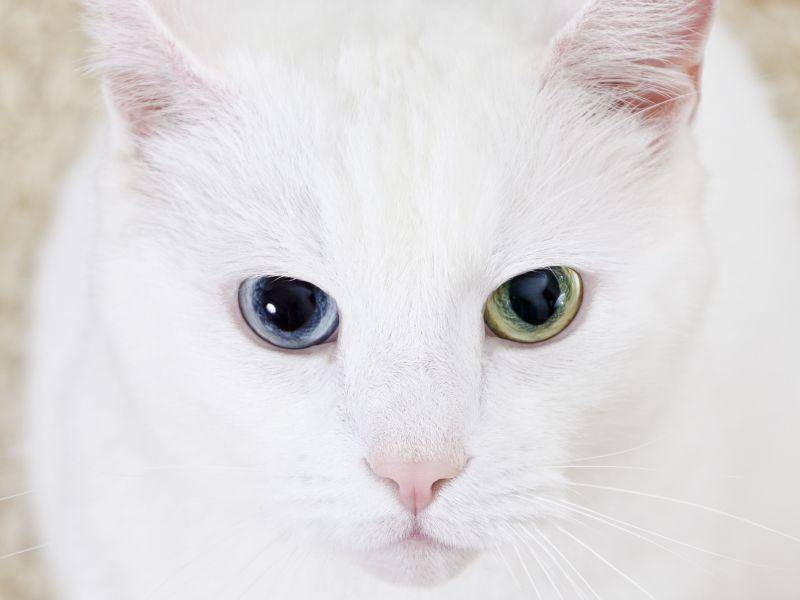 Faszinierend schön, vor allem von ganz nah: Katze mit unterschiedlichen Augenfarben — Bild: Shutterstock / DmitriMaruta
