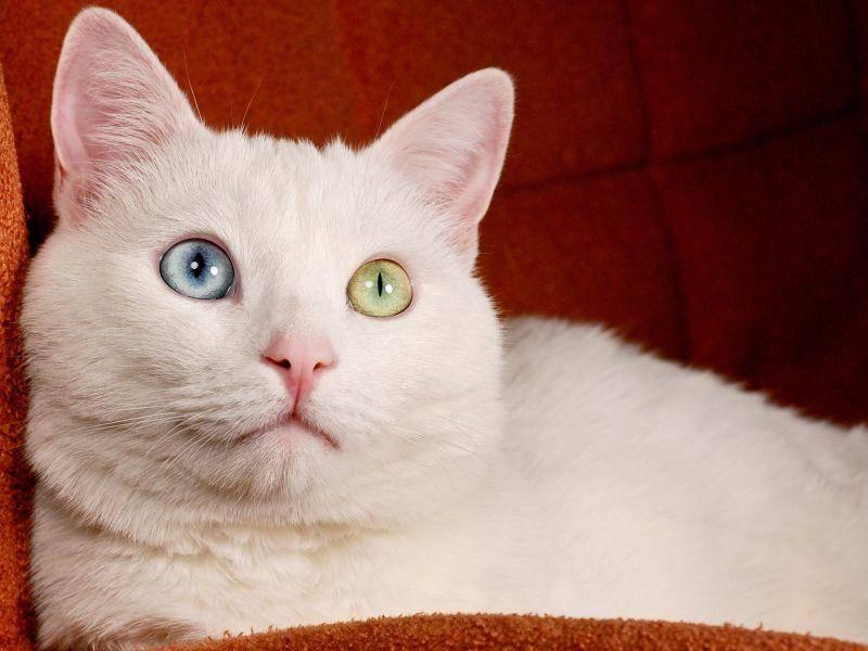 Und zum Schluss noch mal in voller Pracht: Eine Türkisch Van Katze mit einem blauen und einem grünen Auge posiert — Bild: Shutterstock / DmitriMaruta