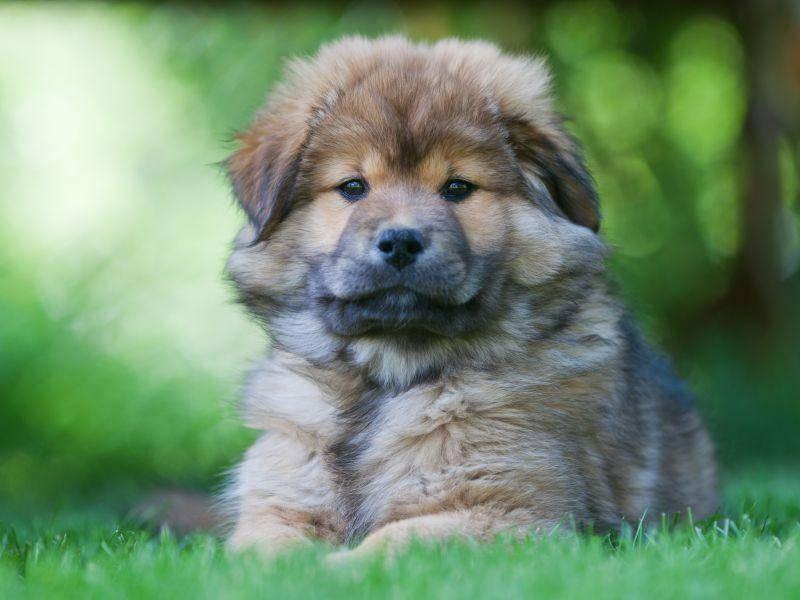 Flauschig und süß: Der Elo ist ein besonderer und sehr schöner Hund — Bild: Shutterstock / Christian Mueller