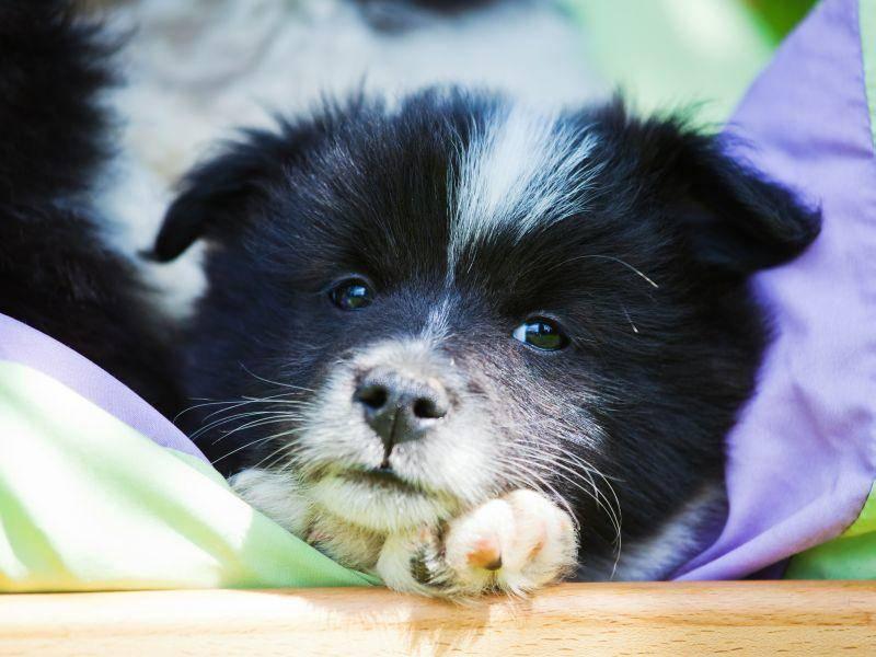 Hallo kleiner Welpe! Schwarz-weiße Elos sind häufig, in der Zucht sind aber alle Farben erlaubt — Bild: Shutterstock / Christian Mueller