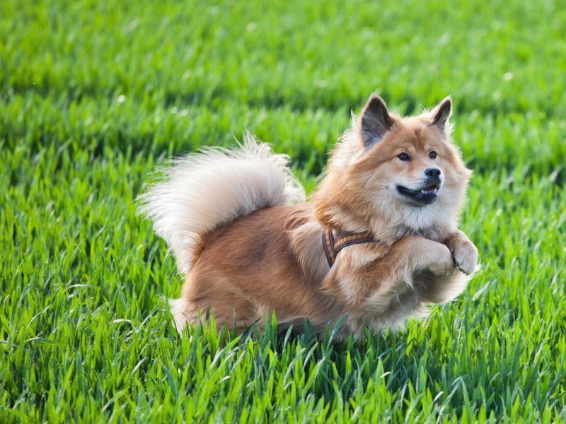 Toben ist zwar klasse, aber als Stadthund eignet sich der Elo trotzdem ideal — Bild: Shutterstock / Christian Mueller