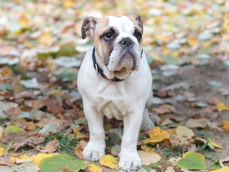 Mit ihrer stattlichen Figur ist die Englische Bulldoge eine stattliche Erscheinung. Sie wird bis zu 25 kg schwer — Bild: Shutterstock / aerogondo2