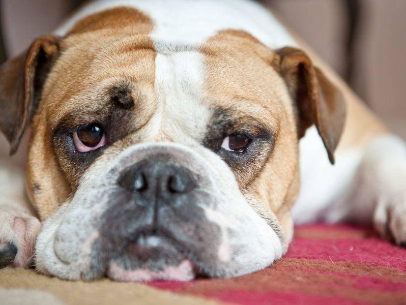 Eignet sich auch für die Wohnungshaltung: Die Englische Bulldogge — Bild: Shutterstock / Victoria Rak
