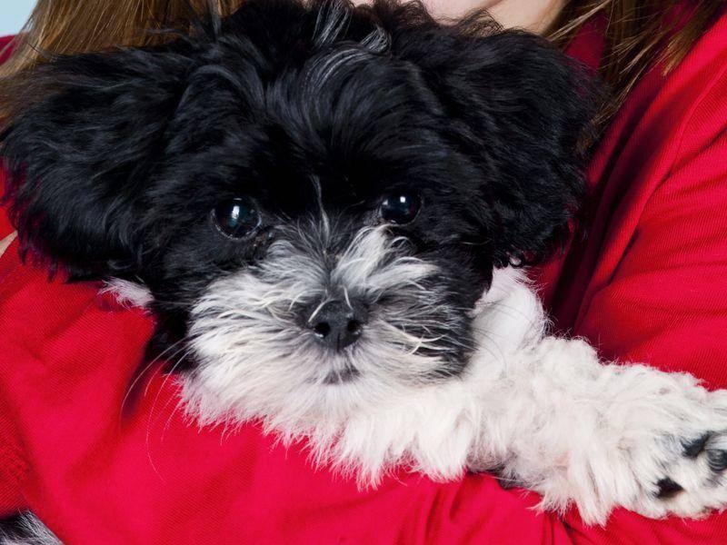 Havaneser sind auf der ganzen Welt beliebt. Die kleinen Hunde sind aber auch zum Kuscheln süß — Bild: Shutterstock / Beata Jancsik