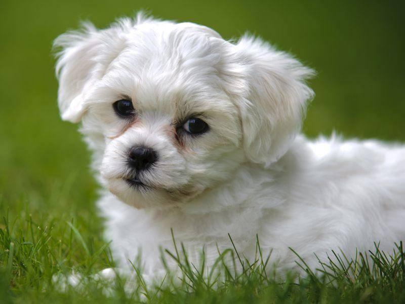 Außerdem gilt der Havaneser als verspielter, lebhafter Hund — Bild: Shutterstock / filmfoto