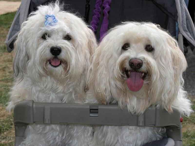 Havaneser gibt es in Weiß und vielen anderen schönen Hundefarben — Bild: Shutterstock / Joy Brown