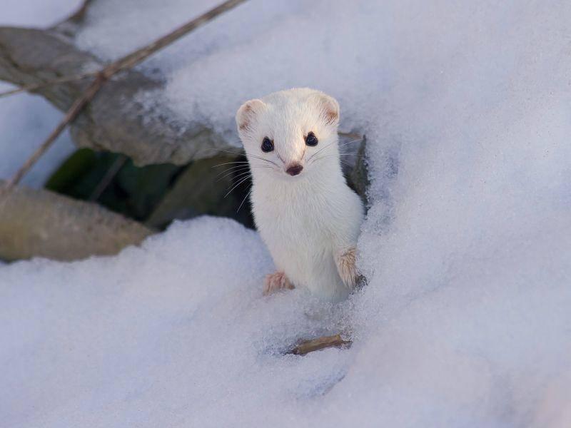 """""""Hallo Freunde!"""" Ein weißes Hermelin beim Schneespaziergang — Bild: Shutterstock / Andrius Vaicikonis"""