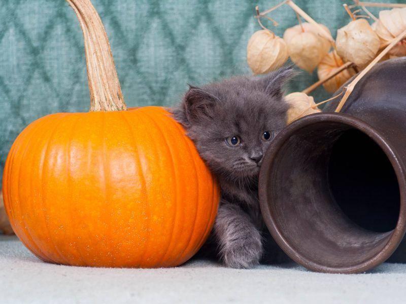 Hübsches Kätzchen in hübscher Halloween-Deko — Bild: Shutterstock / artemis_lady