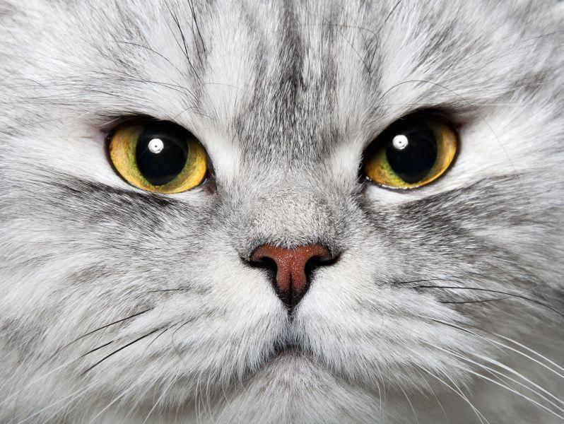 Ganz wichtig bei der Auswahl einer Perserkatze: Ihre Nase sollte nicht plattgezüchtet sein — Bild: Shutterstock / artcasta